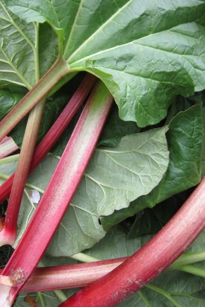 rhubarb-1350969_1920